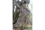 Mohutné stromy jihomoravských luhů Mohutné stromy jihomoravských luhů. Foto: David Hauck