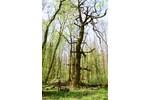 Mohutné stromy jihomoravských luhů. Mohutné stromy jihomoravských luhů. Foto: David Hauck