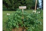 Klienti Arpidy pěstovali několik odrůd brambor