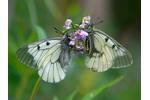 Jasoň dymnivkový  Jasoň dymnivkový je zákonem chráněný motýl. Dokáže žít od nížin po horní hranici lesa. Potřebuje jen dymnivky pro své housenky a světlý les s květy pro dospělé motýly. Z většiny naší republiky přesto vymizel. Za jediného jasoně může sběratel motýlů dostat tučnou pokutu. Jenže exempláře v entomologických krabicích budou zřejmě brzy poslední připomínkou bohatství motýlů, kteří v Milovickém lese žili. A likvidace mnoha tisíc jedinců chráněného druhu v chráněném území lesníkům, jako obvykle, nejspíš projde bez postihu. Foto: M. Vojtíšek