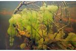 Obr. 4: Slizové kolonie nálevníka druhu Ophrydium versatile (lahvenka velká). Slizové kolonie nálevníka druhu Ophrydium versatile (lahvenka velká).