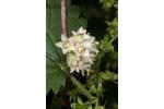 European dodder Tiny flowers of European dodder