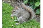 Proposed control measures for introduced eastern grey squirrel (Sciurus carolinensis) populations in Italy were delayed and made ineffective by strong public opposition (photo: Jonathan Jeschke) Proposed control measures for introduced eastern grey squirrel (Sciurus carolinensis) populations in Italy were delayed and made ineffective by strong public opposition (photo: Jonathan Jeschke)