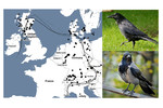 Distribution of carrion and hooded crow in Europe, indicated by Google Images, corresponds well with their actual distribution and hybrid zones  Distribution of carrion and hooded crow in Europe, indicated by Google Images, corresponds well with their actual distribution and hybrid zones [Leighton et al. 2016. Methods Ecol Evol 7:1060-70]; (Photo credits: Bernard Dupont, ponafotkas).