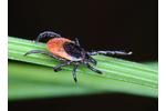 Klíště obecné Klíště obecné (Ixodes ricinus). Foto: Jan Erhart, BC AV ČR