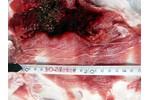 Larva tasemnice Spirometra erinaceieuropaei ve svalovině (mase) z divočáka (Polsko, 2018).  Larva tasemnice Spirometra erinaceieuropaei ve svalovině (mase) z divočáka (Polsko, 2018). Syrové nebo nedostatečně tepelně zpracované maso divočáka tak může být zdrojem infekce člověka i v Evropě.