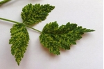 Maliník - příznaky Virové mozaiky na listech maliníku (foto: J. Fránová)