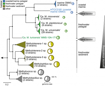 Evolution in action: habitat transition from sediment to the pelagial leads to genome streamlining in Methylophilaceae